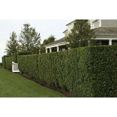 Shield yourself from nosy neighbors with a privet hedge. We tell you how to plant one of these beauties. | Michelle Brunner, Senior Editor | photographer: Nancy Andrews | TOH.com