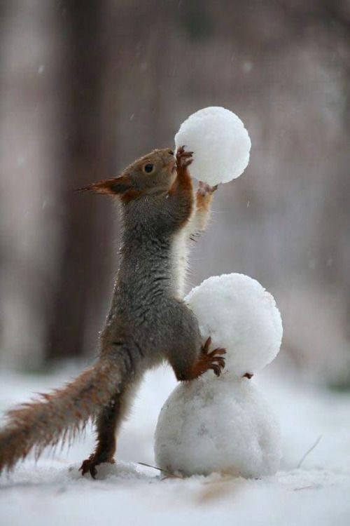 Winter day in the country - squirrel building a snowman