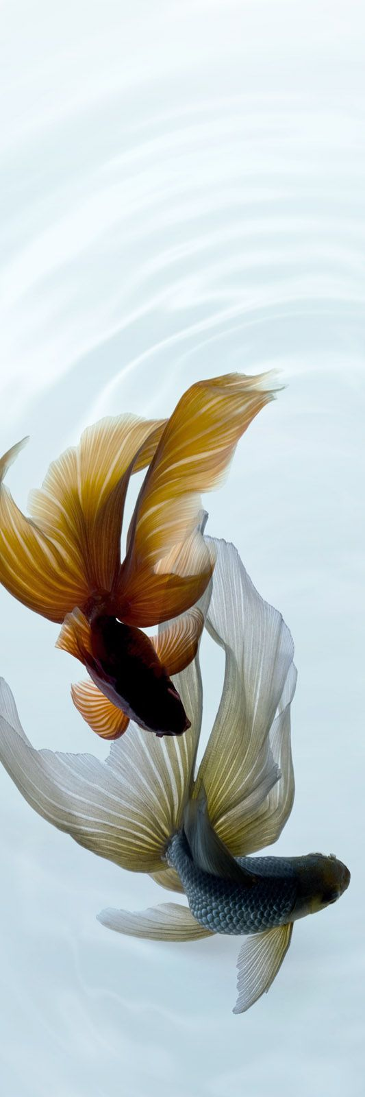 Fancy goldfish and koi were originally bred to be viewed from above. This dance shows why.