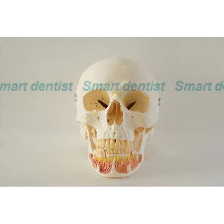 221.35$  Buy here - http://alirys.worldwells.pw/go.php?t=1000002013267 - 2016 Skull model 10*1 extraoral model dental tooth teeth dentist anatomical anatomy model odontologia
