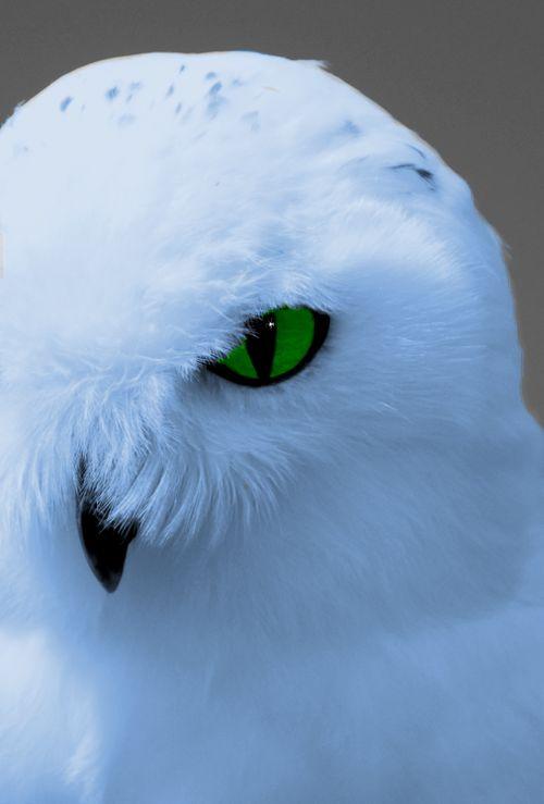 как фото белой совы на аву что огромные средства