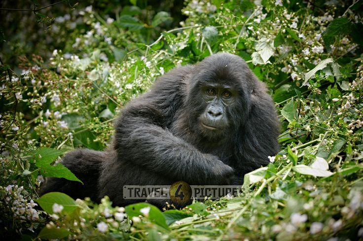 young mountain gorilla [Gorilla beringei beringei], Bwindi Impenetrable National Park, Uganda, Africa /  junger Berggorilla [Gorilla beringei beringei], Bwindi Impenetrable National Park, Uganda, Afrika  / copyright Juergen Ritterbach
