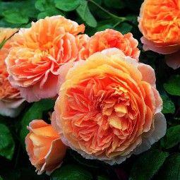 Rosier David Austin Crown Princess Margareta® – Auswinter