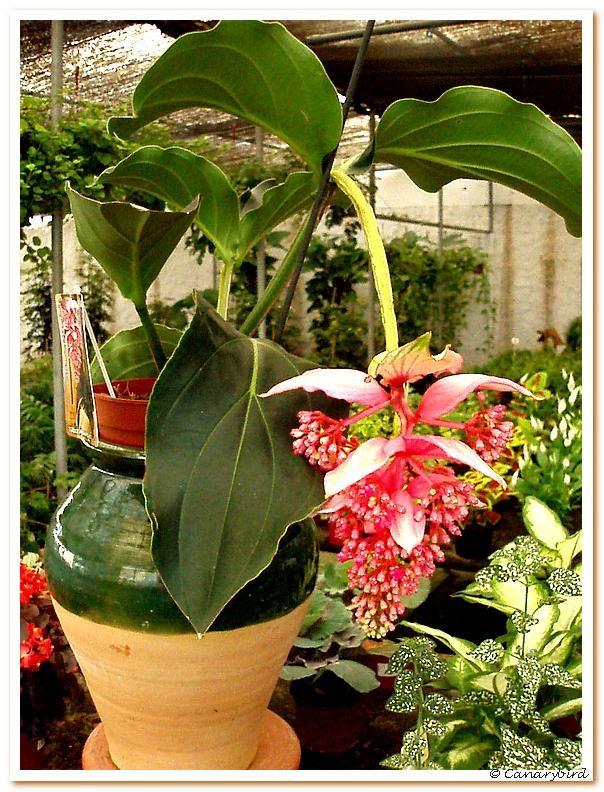 Medinilla....Expectacular!!! Con los cuidados adecuados disfrutaremos de su especialísima floración.  La inflorescencia de color rosa se presenta en grandes racimos de hasta 40 cms. No le gusta el Sol, pero necesita mucha luz.  Riegos sin encharcamientos.  Vigilen el drenaje.  Abonos 2 veces al mes.  Macetas grandes que soporten su peso. Pulverizaciones frecuentes. Usen sustratos ligeramente ácidos para su trasplante.
