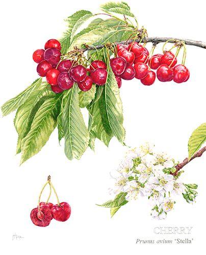 Cherry 'Stella' Limited Edition Print, Original & Greeting Card by Janie Pirie - Botantical Artist