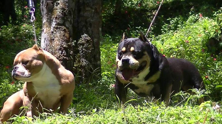 American Bully Bulldog Francês Gatos Gigantes Criadores PETCLUBE Sustent...