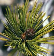 Whitebark pine cones and leaves