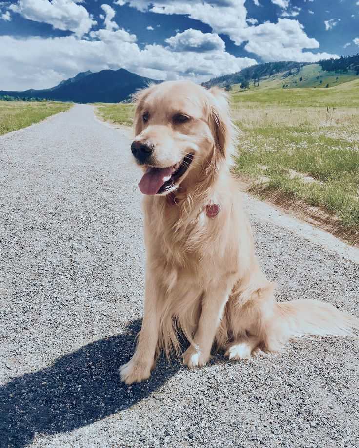 Golden Retrievers Being Cute And Doingthings Follow Me On