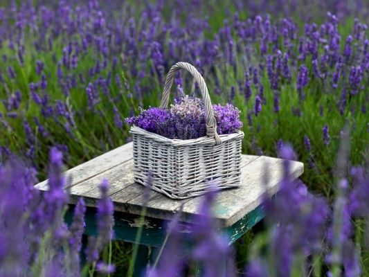 Lavender fields and a basket full of fresh and fragrant lavender flowers.