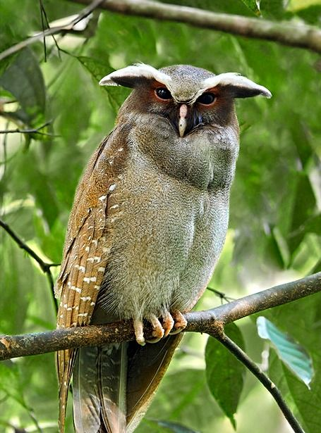 The Crested Owl - he looks fierceViolets Owls, Nature, Birdie, Purple Owls, Creatures, Beautiful Birds, Feathers, Animal, Crest Owls
