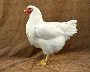Rhode Island White chicken: (Egg Layer): Low broodiness, calm, likes to range, large eggs, high egg production, heritage breed, tolerant to heat and cold ~HERITAGE BREED~