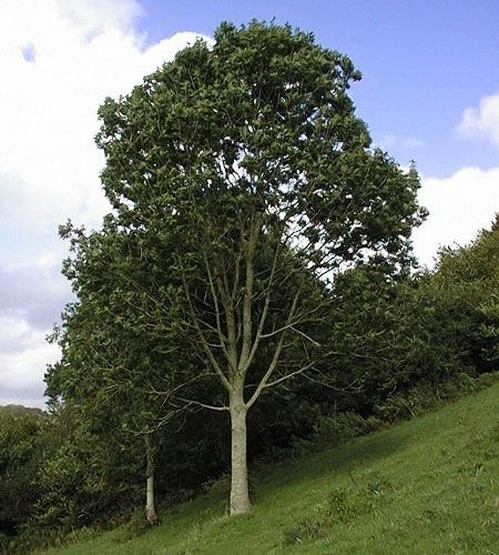 canadian trees - Google Search