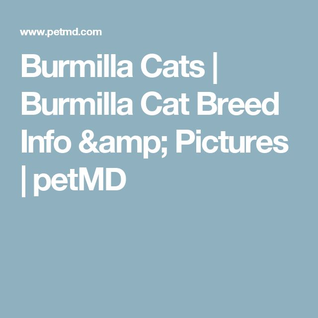 Burmilla Cats | Burmilla Cat Breed Info & Pictures | petMD