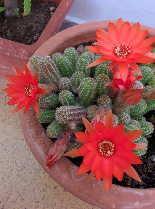 Chamaecereus sylvestri : Cactus y Suculentas de Amanecer