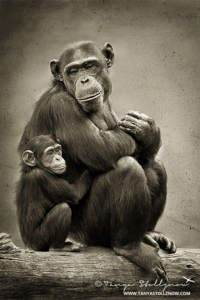 Tanya Stollznow Wildlife Photographer | Baby Chimpanzee and Mother
