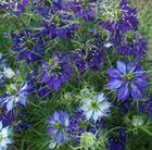 Love in a Mist Nigella damascena 'Oxford Blue'