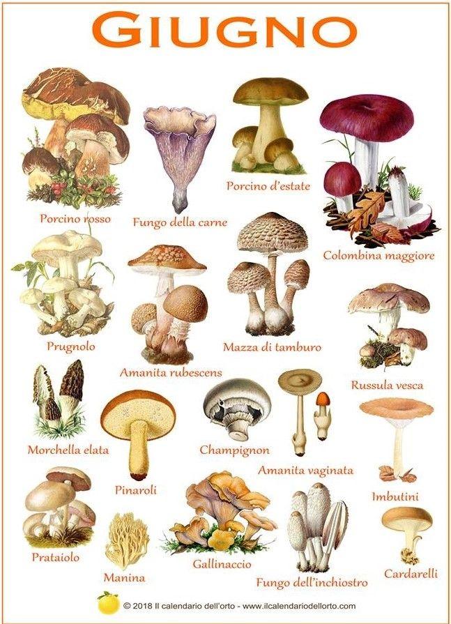 Calendario Funghi.Il Calendario Dei Funghi Commestibili Piu Comuni In Italia