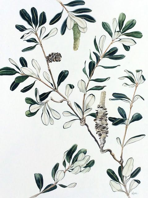 Banksia No. 3 - watercolour on paper, 46 x 59cm. By Pip Spiro