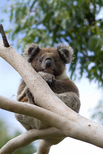 koala - Great Otway National Park, Australia