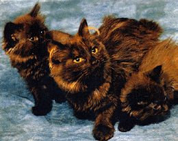 "The breeding of the TiffanyChantilly began in 1967 when Jennie Robinson of New York purchased ""Thomas"" and ""Shirley,"" a pair of longhaired chocolate cats with gold eyes and unknown background, which were being sold as part of an estate sale."