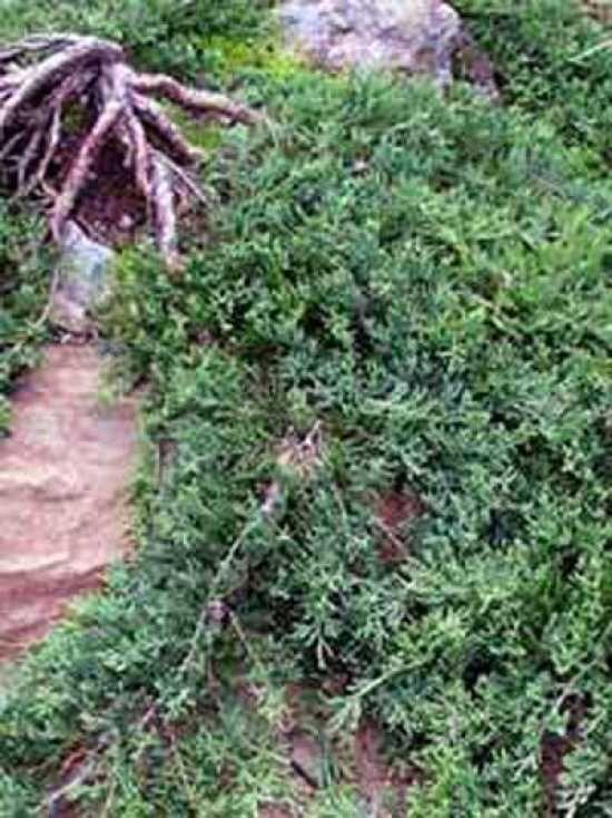 Juniperus horizontalis 'Wiltonii' / Teppich-Wacholder 'Wiltonii', 15 cm, Tiefwurzler, durchlässige Böden, Trittfest