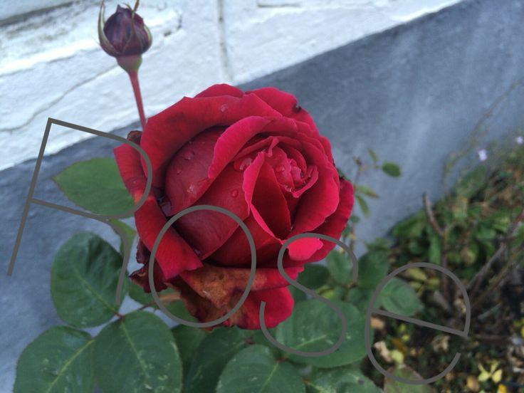 Rosen sollte man stets gut düngen und zwei mal im Jahr beschneiden