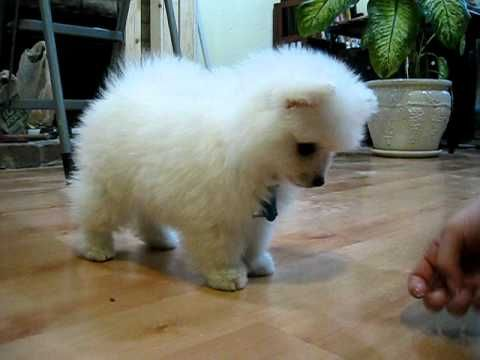 really adorable toy size American Eskimo puppy