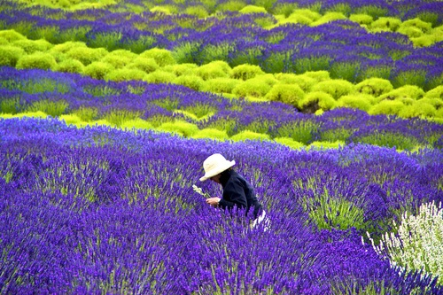 Must go again!,Lavender Farm, San Juan Islands, Washington