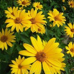 Słoneczniczek szorstki dried flowers, suszone kwiaty