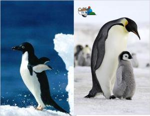 les 69 meilleures images du tableau pinguin sur pinterest p le nord pingouins et animaux polaires. Black Bedroom Furniture Sets. Home Design Ideas
