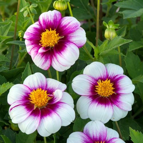 1017 best dahlias images on pinterest | dahlia flowers, fonts and