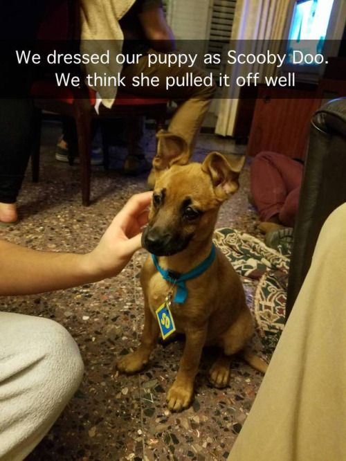 we dressed our puppy as Scooby Doo. we think she pulled it off well