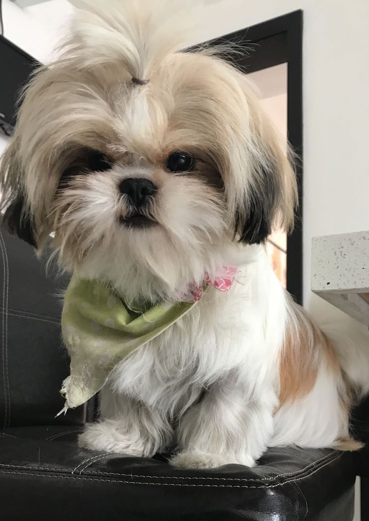 Image result for male shih tzu hairstyle