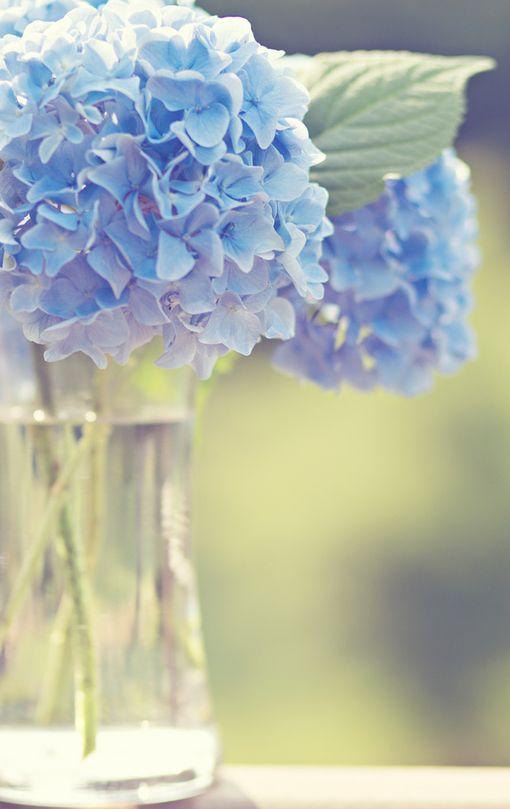 Hydrangea, my favorite flower