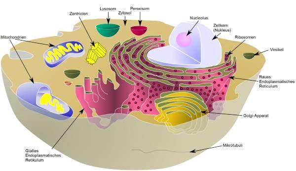 Aufbau und Bestandteile einer Zelle