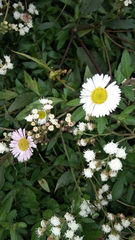 Daisy flower, mt. Prau