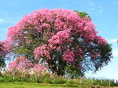 Há várias espécies conhecidas como paineira no Brasil, quase todas pertencendo ao gênero Ceiba (antes, Chorisia1 ) da família Malvaceae (antes, Bombacaceae)  De todas, a mais conhecida é a paineira da espécie Ceiba speciosa (St.-Hill.) Ravenna, nativa das florestas brasileiras e da Bolívia, inicialmente descrita como Chorisia speciosa St. Hilaire 1828.2  Outros nomes vulgares: sumaúma, barriguda, paina-de-seda, paineira-branca, paineira-rosa, árvore-de-paina, árvore-de-lã, paineira-fêmea.