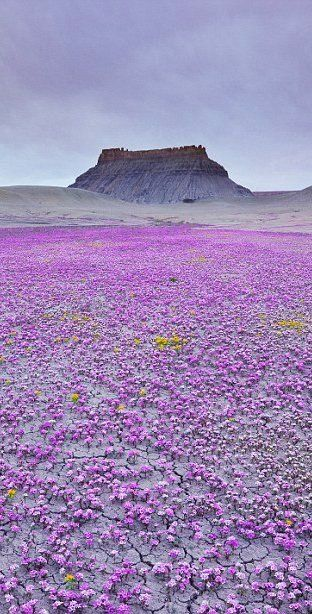 It's a magic carpet of purple wildflowers in Mojave desert, Utah.