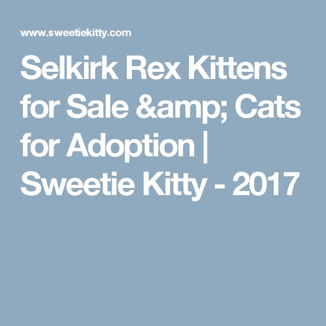 Selkirk Rex Kittens for Sale & Cats for Adoption | Sweetie Kitty - 2017