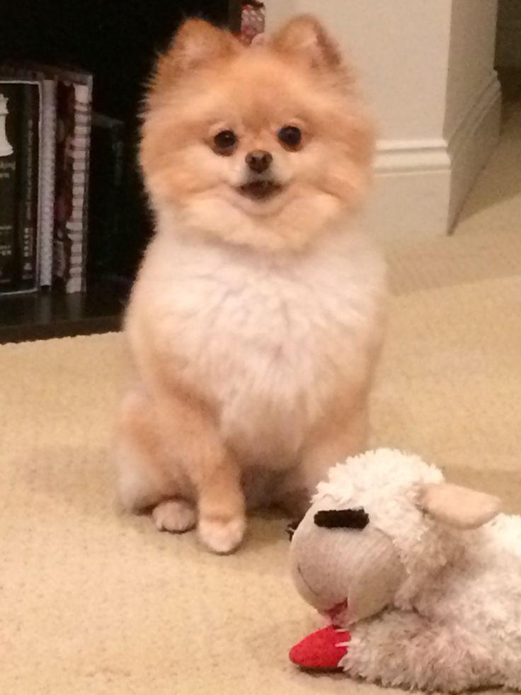 pomeranian haircut style best 25 pomeranian haircut ideas on pinterest 7188