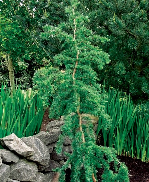 Best 25 tall skinny trees ideas that you will like on for Weeping evergreen trees for small gardens