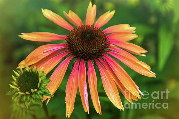 Pin By Photography By Alana I Throwe On Flora Artwork Showy Flowers Echinacea Purpurea Planting Flowers