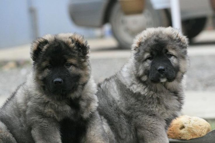 Caucasian shepherd dog puppy for sale in lancaster mo