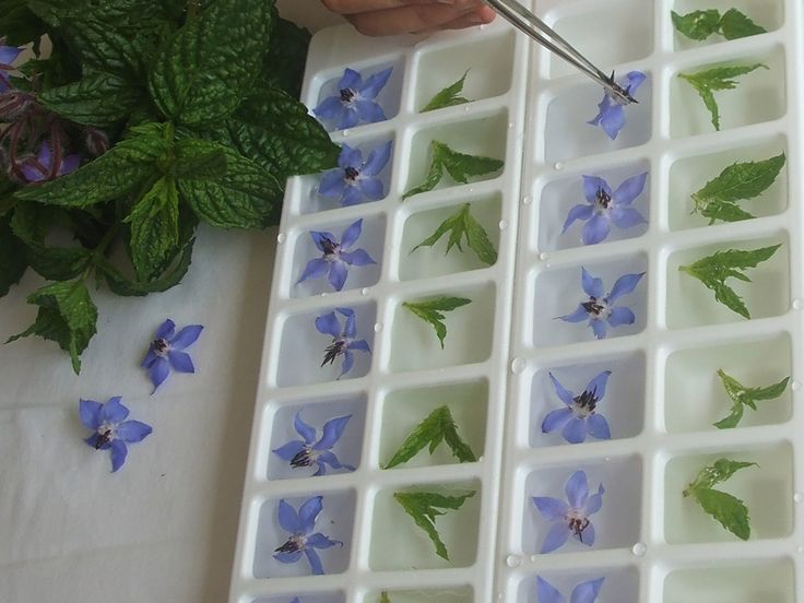 Making mint and borage icecubes at Maddocks Farm Organics.