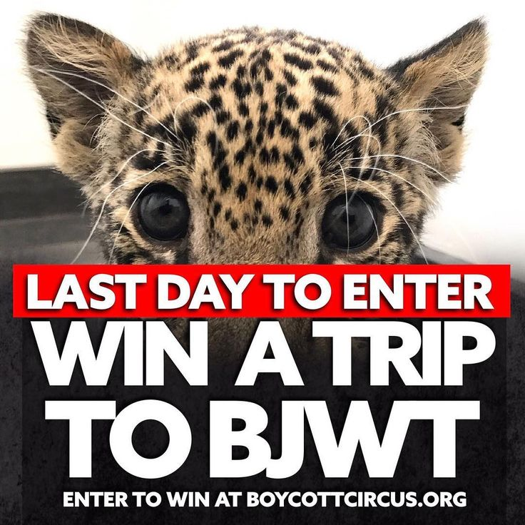 WIN A TRIP TO BJWT :) Enter to win at boycottcircus.org Winner will receive ONE paid trip to The Black Jaguar-White Tiger Foundation. Winner announced on Facebook Live Saturday, September 9 2017. Winner can be from anywhere in the world, 18 years or older. Flight, hotel, dinners, Starbucks, transportation and two days at Stage 1 and 2/2B included. Also, you can invite one guest (At your own expense) if you feel like not coming alone. Thank you for your love and support to BJWT and good luck…