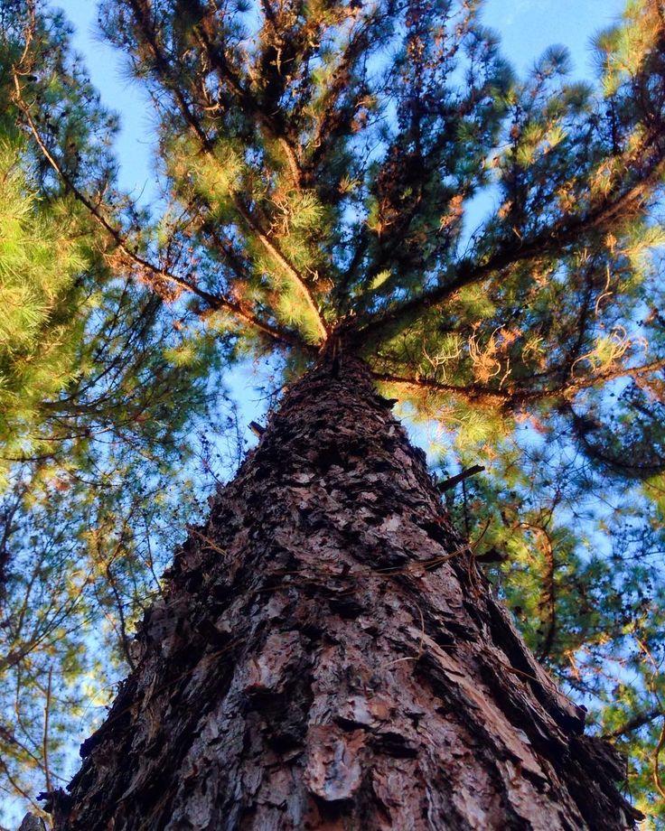 Pine tree  . . . . . #treelovers #pinetree #arvoresdebrasilia #brasília #igersbsb #naturelovers #saved