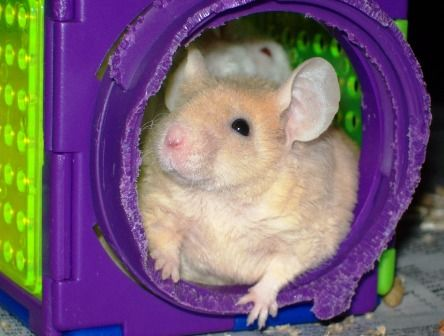 Mice as pets are great for kids - here are some tips for looking after them. thelinkssite.com