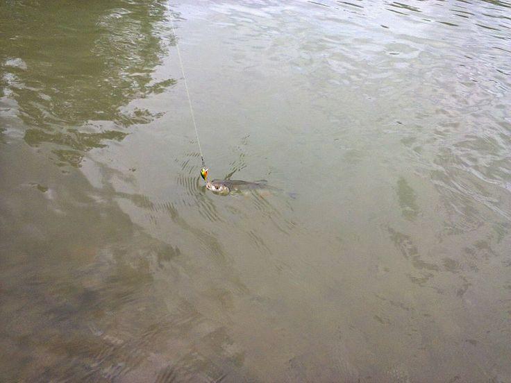 Pescuitul sportiv - mai presus de pasiune: Pescuitul cleanului la vobler(e): scurtă evadare p...