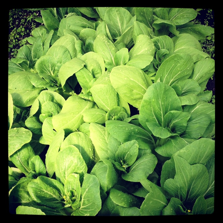 Pak Choi / $2.50 each Seaview Game Farm   Office: (250) 337-5182 Fax: (250)337-5231   1392 Seaview Road Black Creek, B.C. V9J 1J7   www.seaviewgamefarm.com www.facebook.com/seaviewgamefarm