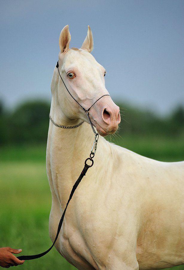 Akhal-teke | Cremello,Albino and Pearlino Horses ...